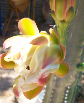 Cactus flower in bloom - close up