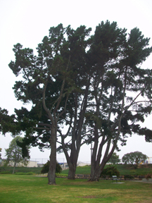 A tree in Grover Beach Park in the fog