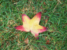 Longing for fall - a leaf in Grover Beach Park